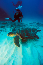 Hawksbill Turtle - Eretmochelys Imbricata - with divers on the background, Sal Island, Cape Verde Islands, Atlantic Ocean