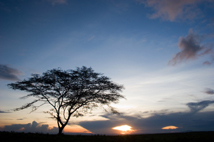 A lone Acacia Tree stands tall in the African wild.