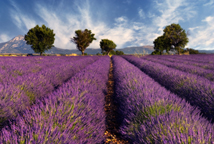 Image shows a lavender field in the region of Provence, southern France, photographed on a windy afternoon.