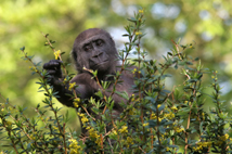 A young western lowland gorilla picking small yellow flowers